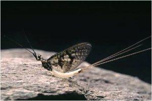 Green Drake Spinner - Coffin Fly
