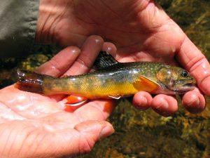 Southern Appalachian Brook Trout