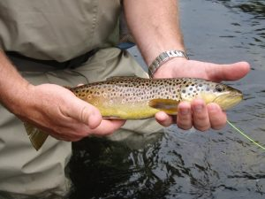 Asheville area Brown Trout - Western North Carolina