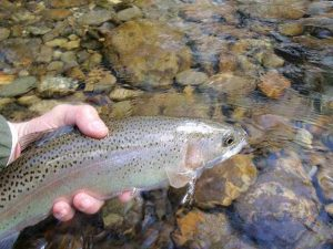 Watuaga River Rainbow 300x225 Tennessee Tailwaters Stream Report   May 1, 2012