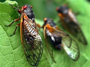 cicadas 300x225 Wild Waters Stream Report for May 24th, 2012