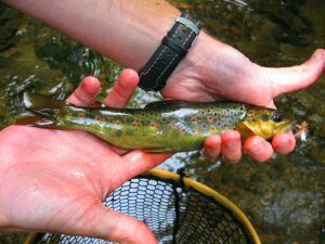 WNC Wild Brown Trout