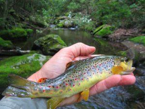 Western North Carolina Wild Brown Trout